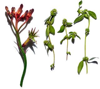 Känguru-Blume & Mitracarpus