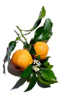 Aktivstoff Bitterorangenbaum