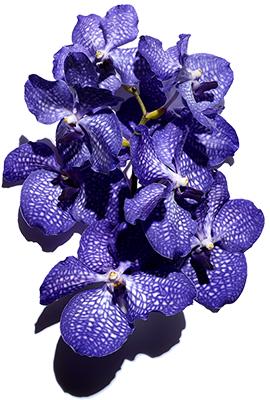 Aktivstoff Blaue Orchidee