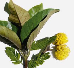 Biologische Haronga und Cassia-Blüte
