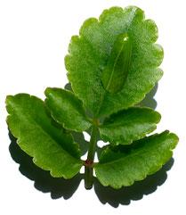 Goethe-Pflanze