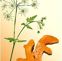 Wiesenkerbel und Curcuma