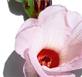 Hibiscus-Blüte