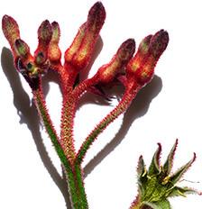 Känguru-Blume