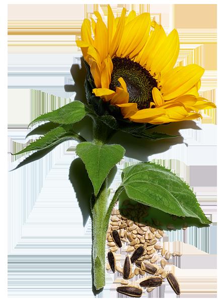 Aktivstoff Sonnenblume und Sonnenblumenkerne